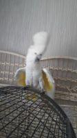 Cockatiel Birds for sale in Huntsville, AL, USA. price: NA