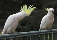 Cockatiel Birds for sale in Glendale, AZ, USA. price: NA