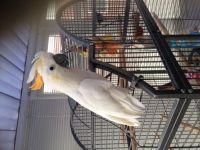 Cockatiel Birds for sale in Springfield, MA, USA. price: NA