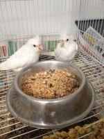 Cockatiel Birds for sale in Adairsville, GA 30103, USA. price: NA
