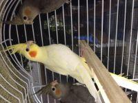 Cockatiel Birds for sale in Williamsburg, OH, USA. price: NA