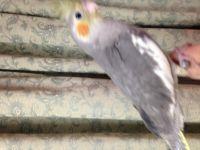 Cockatiel Birds for sale in Rockaway, NJ 07866, USA. price: NA