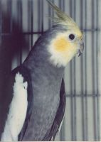 Cockatiel Birds for sale in Northwest Houston, Houston, TX, USA. price: NA