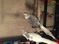 Cockatiel Birds for sale in Lafayette, LA, USA. price: NA