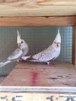 Cockatiel Birds for sale in Philadelphia, PA, USA. price: NA