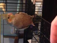 Cockatiel Birds for sale in 133 E Howard Ave, Grand Junction, MI 49056, USA. price: NA