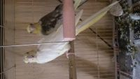 Cockatiel Birds for sale in Cannel City, KY 41408, USA. price: NA