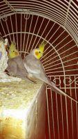 Cockatiel Birds for sale in Roslindale, MA 02131, USA. price: NA