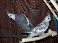 Cockatiel Birds for sale in Perth Amboy, NJ, USA. price: NA