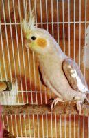 Cockatiel Birds for sale in Allegan, MI 49010, USA. price: NA