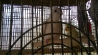Cockatiel Birds for sale in Lutz, FL, USA. price: NA