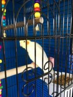Cockatiel Birds for sale in Detroit, MI, USA. price: NA