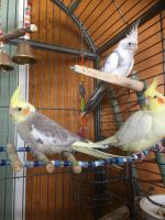 Cockatiel Birds for sale in Woodland Hills, Los Angeles, CA, USA. price: NA