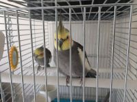 Cockatiel Birds for sale in KY-44, Shepherdsville, KY 40165, USA. price: NA