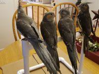 Cockatiel Birds for sale in San Diego, CA, USA. price: NA