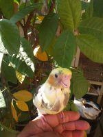 Cockatiel Birds for sale in Orange, CA, USA. price: NA