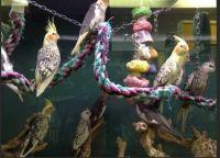 Cockatiel Birds for sale in Abilene, KS 67410, USA. price: NA