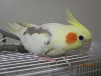 Cockatiel Birds for sale in Wichita, KS, USA. price: NA