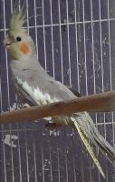 Cockatiel Birds for sale in Needville, TX 77461, USA. price: NA