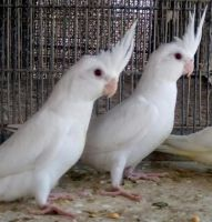 Cockatiel Birds for sale in Pennsylvania Ave NW, Washington, DC, USA. price: NA