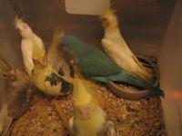 Cockatiel Birds for sale in Milwaukee, WI, USA. price: NA
