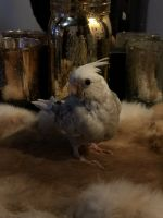 Cockatiel Birds for sale in Steubenville, OH, USA. price: NA
