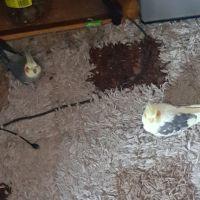 Cockatiel Birds for sale in Bronx, NY 10465, USA. price: NA