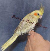 Cockatiel Birds for sale in Aylett, VA, USA. price: NA