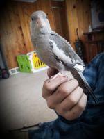 Cockatiel Birds for sale in Muskegon, MI 49445, USA. price: NA