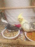 Cockatiel Birds for sale in Bakersfield, CA, USA. price: NA