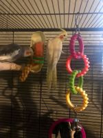 Cockatiel Birds for sale in Rochester, NY 14621, USA. price: NA