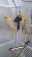Cockatiel Birds for sale in Woodbury, MN, USA. price: NA