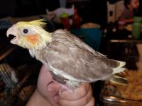 Cockatiel Birds for sale in Fort Worth, TX, USA. price: NA
