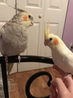 Cockatiel Birds for sale in Ezel, KY 41425, USA. price: NA