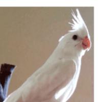 Cockatiel Birds for sale in Chicago, IL, USA. price: NA