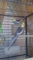 Cockatiel Birds for sale in Daytona Beach, FL, USA. price: NA