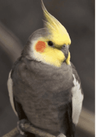 Cockatiel Birds for sale in Vancouver, WA, USA. price: NA