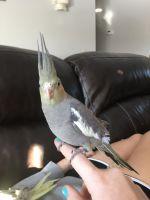 Cockatiel Birds for sale in Monticello, MN, USA. price: NA