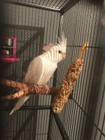 Cockatiel Birds for sale in Pondfield Rd, Bronxville, NY 10708, USA. price: NA