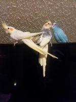 Cockatiel Birds for sale in Hunlock Creek, PA 18621, USA. price: NA