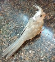 Cockatiel Birds for sale in Virginia Beach, VA 23464, USA. price: NA