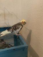 Cockatiel Birds for sale in Sanford, FL, USA. price: NA