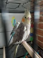 Cockatiel Birds for sale in Chambersburg, PA, USA. price: NA