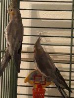 Cockatiel Birds for sale in Minneapolis, MN, USA. price: NA