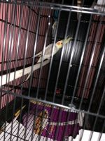 Cockatiel Birds for sale in 9999 Foothill Blvd, Rancho Cucamonga, CA 91730, USA. price: NA