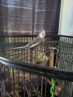 Cockatiel Birds for sale in Colton, CA, USA. price: NA