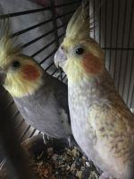 Cockatiel Birds for sale in Zephyrhills, FL, USA. price: NA