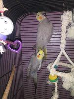 Cockatiel Birds for sale in Lancaster, PA, USA. price: NA
