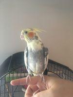 Cockatiel Birds for sale in Phoenix, AZ, USA. price: NA