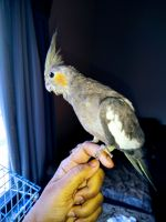 Cockatiel Birds for sale in Natrona Heights, PA 15065, USA. price: NA